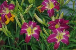 Fun Fling daylilies form a regal display