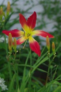 Hot Wheels Daylily spins a glowing tale.