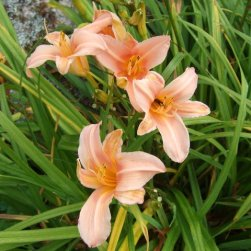Semi-circled daylilies
