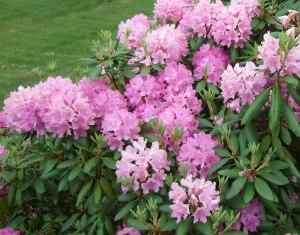 Rhodo shrub