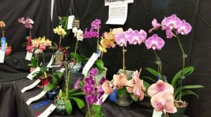 An array of Phalaenopsis orchids