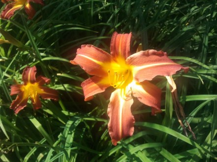 A brilliant shot of a brilliant daylily in Herb F.'s garden.