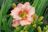 This outstanding, salmon-coloured daylily comes from Barb R.'s garden.