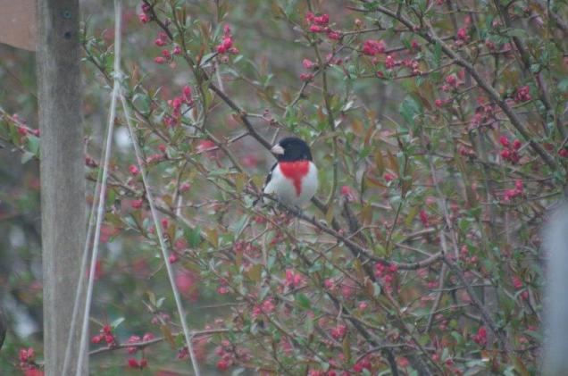 More color in the quince. It's a Rose Breasted Grosbeak BH