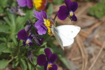 Spring Cabbage White Butterfly likes the Viola