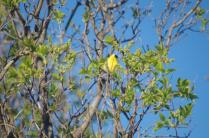 Lilac Buds BH