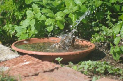 This song sparrow and others bathed in daily fresh water