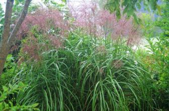 Mithcanthus Grass
