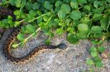 Brown snake sunning