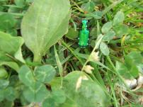 Good little tiger beetle
