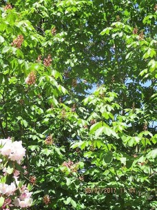 07 June (31) Horse Chestnut with red blooms
