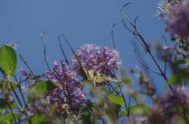Swallowtail
