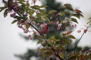 Male Cardinal on the Cherry Tree