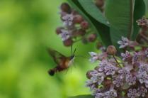 Hummingbird Moth on Common Milkweed