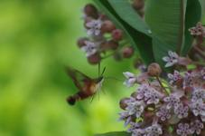 Hummingbird Moth on Common Milkweed
