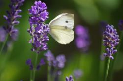 Clouded Sulphur on Lavender