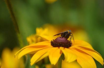 Ctenucha Moth on Rudbeckia