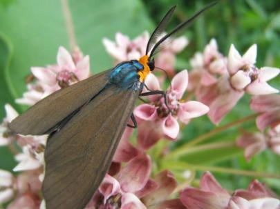 Ctenucha Moth on Common Milkweed