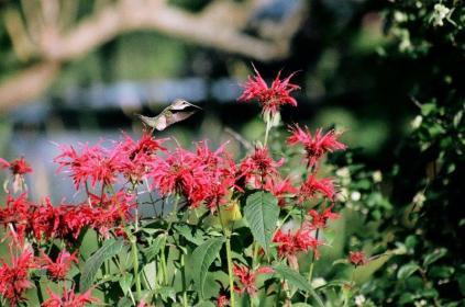 Hummingbird in the Bee Balm