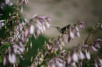 Hummingbird in the Hosta