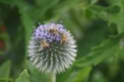 Pollinators on Globe Thistle