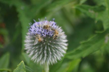 Pollinators on Globe Thistle