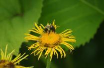 Pollinator on Inula