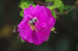 Pollinator on Rugosa Rose