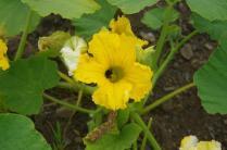 Pollinator in Squash Blossom