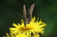 Swallowtail on Inula