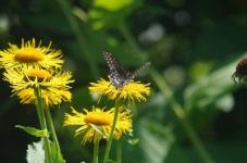 Swallowtail on Inula