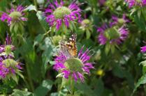 Painted Lady on Bee Balm