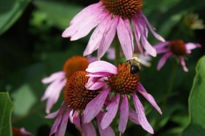 Pollinator on Echinacea