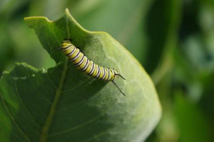 Monarch Larvae on Common Milkweed
