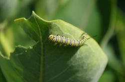 Monarch Larvae