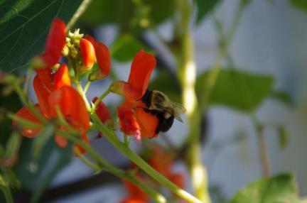 Pollinator on Scarlet Runner Blossom