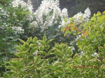 19 Sept (10) Pee Gee Hydrangea tree form