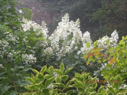 Peegeehydrangia tree