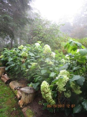 19 Sept (14) Annabelle hydrangea
