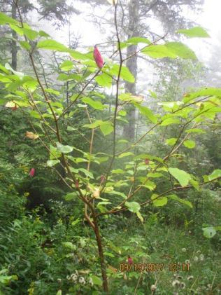 Magnoliain bud