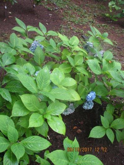 Blue macrophylla