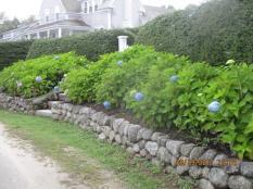 19 Sept (30) Blue Hydrangea Macrophylla