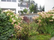 19 Sept (30) PeeGee Hydrangea