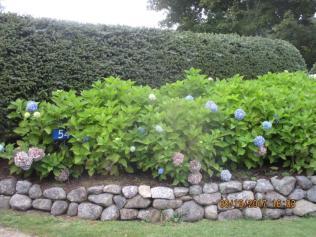 19 Sept (32) Blue Hydrangea Macrophylla