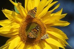 Painted Ladies love sunflowers