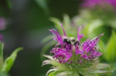 This pollinator loves Monarda