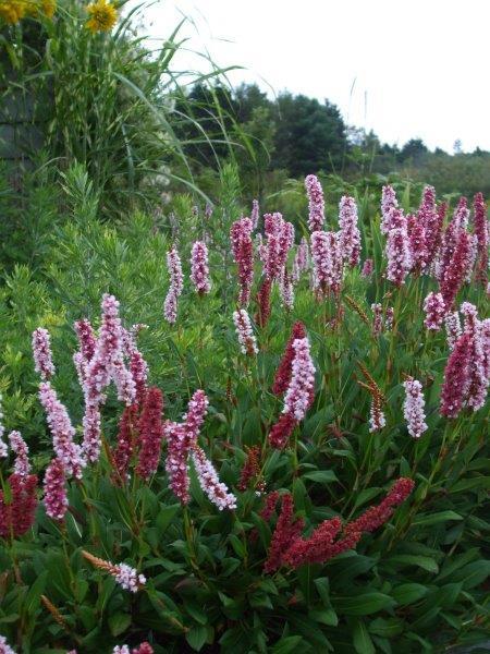 10 Persicaria affinis, Fleece Flower Jocelyn