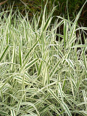 12 Phalaris arundinacea, Ribbon Grass