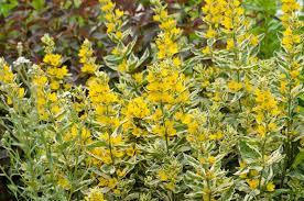14 Lysimacha punctata, Yellow Loosestrife