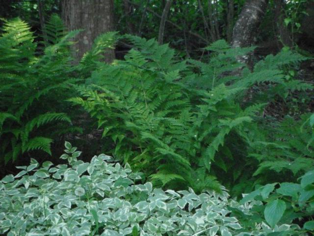 15 Aegopodium podagraria, Goutweed 027